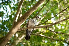 Oiseau de pigeon de vue supérieure sur l'arbre de branche Images libres de droits