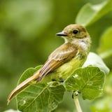 Oiseau de pinson de Galapagos Photo libre de droits