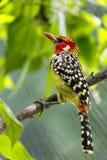 Oiseau de pivert Images libres de droits