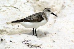 Oiseau de plage Photo stock