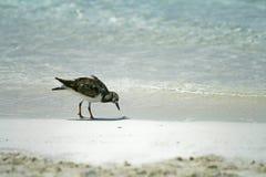 Oiseau de plage Photo libre de droits