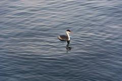 Oiseau de plongée d'eau douce de grèbe Tir extérieur utilisant la lumière naturelle Photo libre de droits
