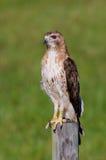 Oiseau de portrait de proie Photos libres de droits