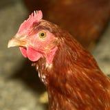Oiseau de poule de ferme de poulet photo libre de droits