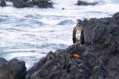 Oiseau de proie été perché au-dessus du crabe photographie stock
