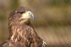 Oiseau de proie Photos libres de droits