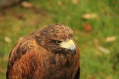 Oiseau de proie. photographie stock