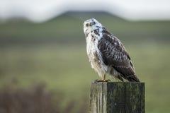 Oiseau de proie, Buzzard, buteo de Buteo photo stock
