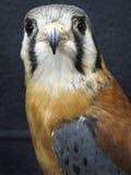 Oiseau de proie - crécerelle américaine Photographie stock libre de droits