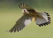 Oiseau de proie en vol Images libres de droits