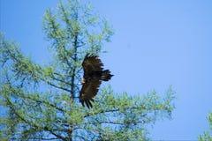 Oiseau de proie en vol pour la proie de égrappage photos libres de droits