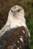 Oiseau de proie jetant un coup d'oeil derrière Images libres de droits