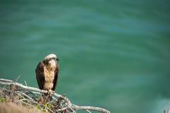 Oiseau de proie près du village de Lennox Head, Australie Image stock