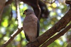 Oiseau de proie sur l'île de Komodo Photographie stock libre de droits