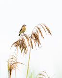 Oiseau de Reed Photos stock