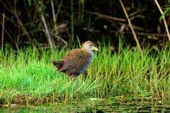 Oiseau de ressort Image libre de droits