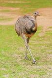 Oiseau de Rhea Images libres de droits