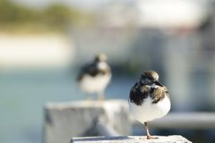 Oiseau de rivage se reposant sur un pilier de ciment Photographie stock