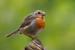Oiseau de Robin Photo stock