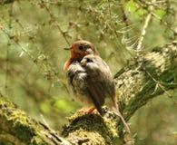 Oiseau de Robin d'été image libre de droits