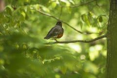 Oiseau de Robin sur une branche d'arbre Oiseau orange de merle de sein Photographie stock libre de droits