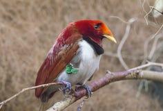 Oiseau de roi du paradis photos stock