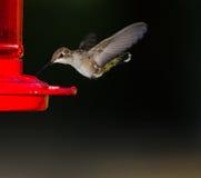 Oiseau de ronflement étant prêt pour boire Photographie stock