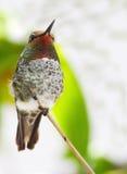 Oiseau de ronflement Photos libres de droits