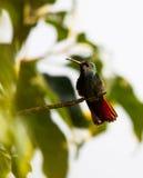 Oiseau de ronflement Photo libre de droits
