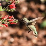 Oiseau de ronflement Photographie stock