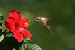 Oiseau de ronflement alimentant sur l'horizontal de fleur Images libres de droits