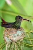 Oiseau de ronflement dans le nid Photographie stock