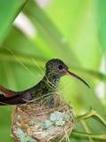 Oiseau de ronflement se reposant dans un nid Photo libre de droits