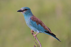 Oiseau de rouleau européen Photo stock