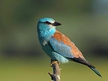 Oiseau de rouleau européen sur une branche Photo stock