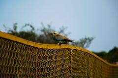 Oiseau de rouleau se reposant sur une barrière au plateau de Kaas dans le maharashtra, Inde photos stock