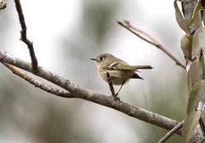 Oiseau de Ruby Crowned Kinglet en hiver, la Géorgie Etats-Unis photo stock