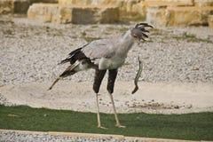 Oiseau de Secetary Image libre de droits