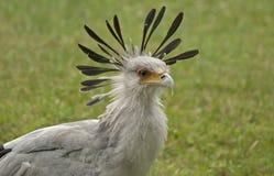 Oiseau de secrétaire images stock