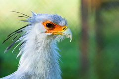 Oiseau de secrétaire Photos stock
