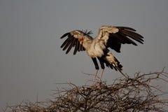 Oiseau de secrétaire sur l'acacia épineux Image libre de droits