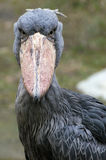 Oiseau de Shoebill Photos stock
