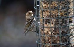 Oiseau de siskin de pin accrochant au birdfeeder images libres de droits