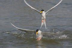 Oiseau de sterne de rivière Photo libre de droits