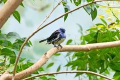 Oiseau de Tanager de turquoise sur le branchement photo stock