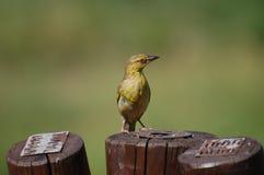 Oiseau de tisserand Photos libres de droits