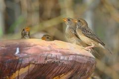 Oiseau de tisserand de Bayard photographie stock libre de droits