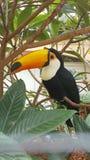Oiseau de Toekan image libre de droits