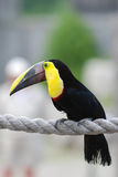 Oiseau de Toucan Photos libres de droits