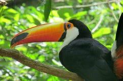 Oiseau de Toucan Photo libre de droits